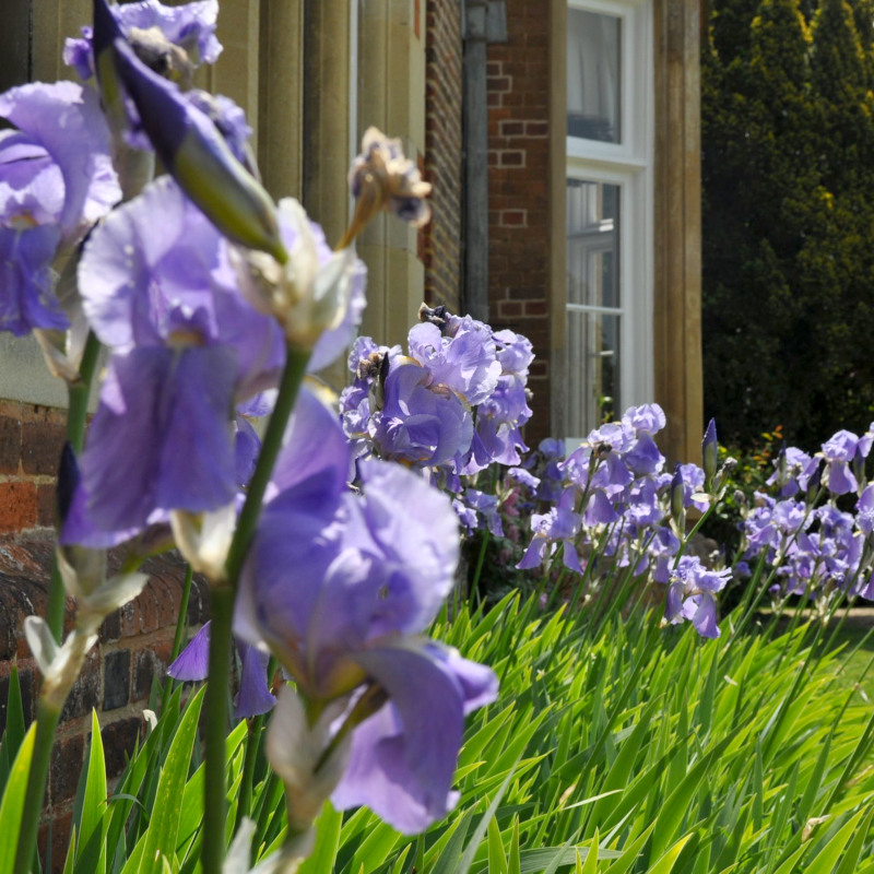 Irises outside Bourn Hall Cambridge
